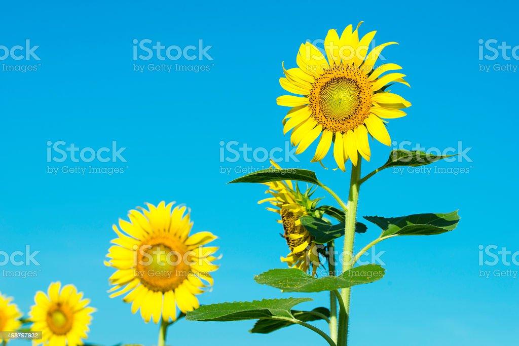 Sun flower. royalty-free stock photo
