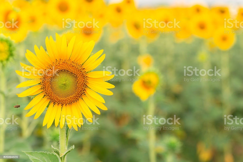Sun flower the sign of hope for your success background. stock photo