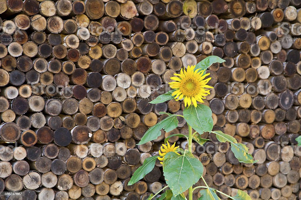 sun flower with wood stack royalty-free stock photo