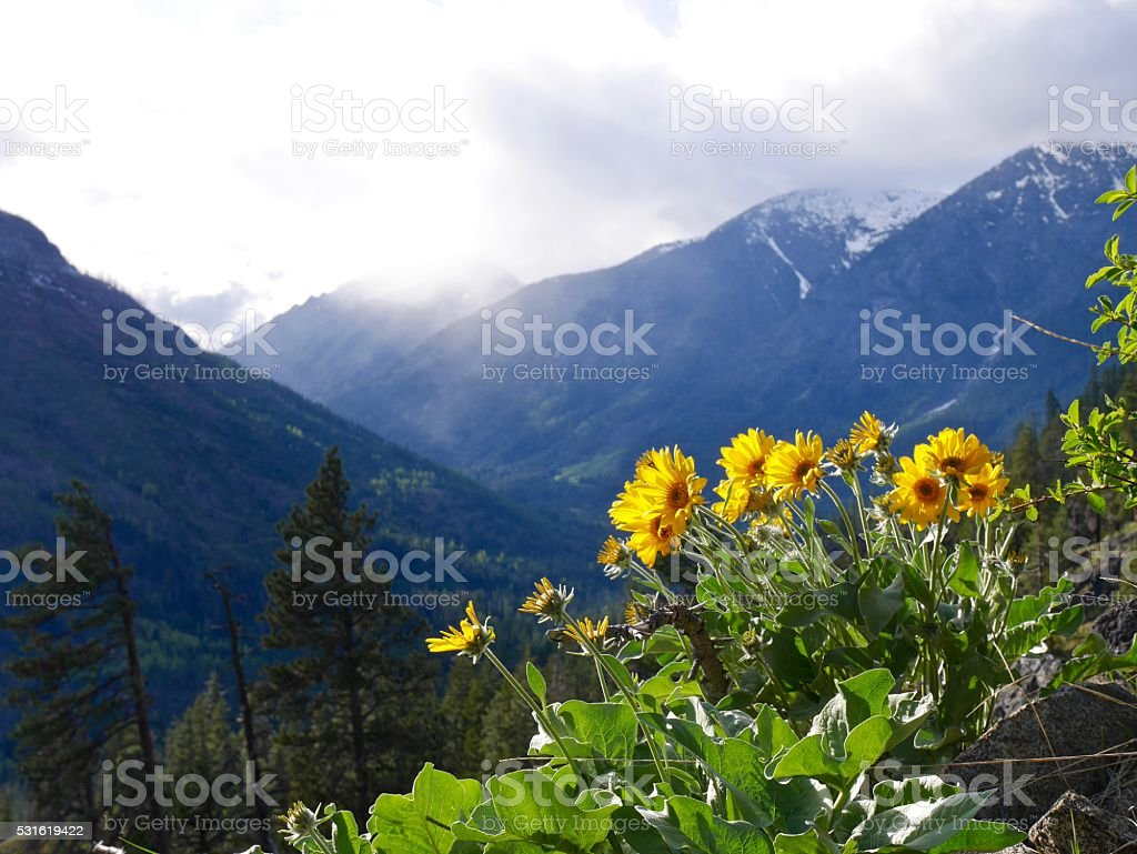 Sun Flowers Blooming in Mountains. stock photo