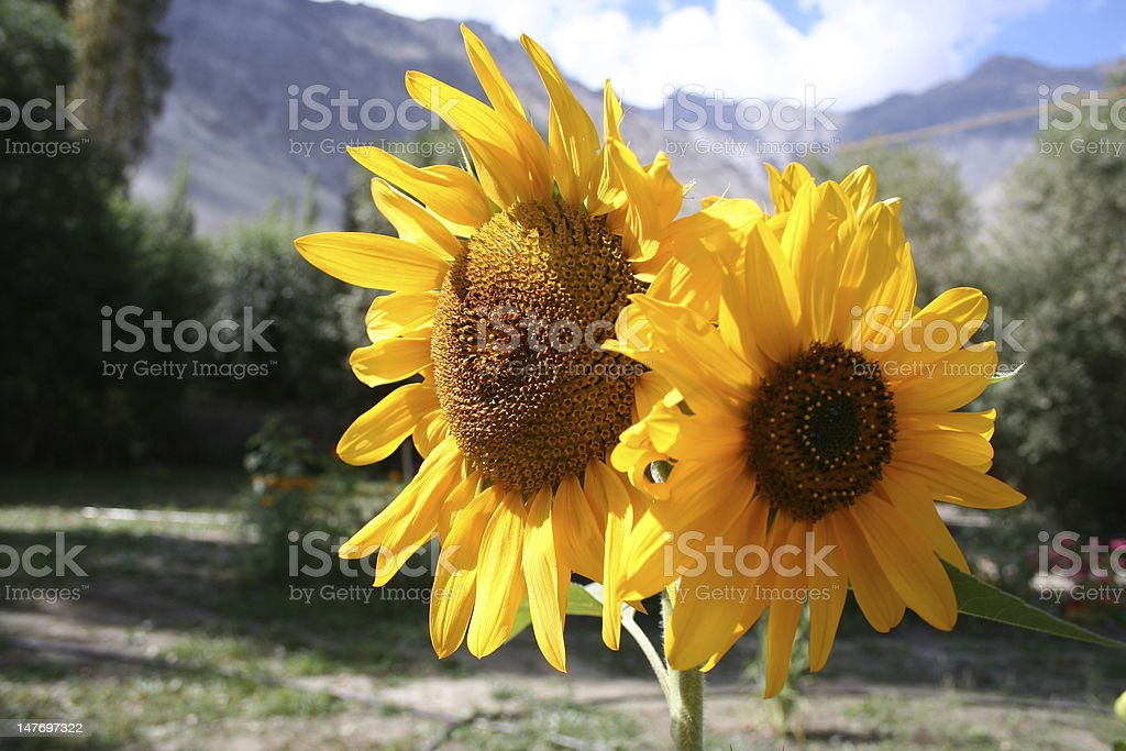 Sun flowers stock photo