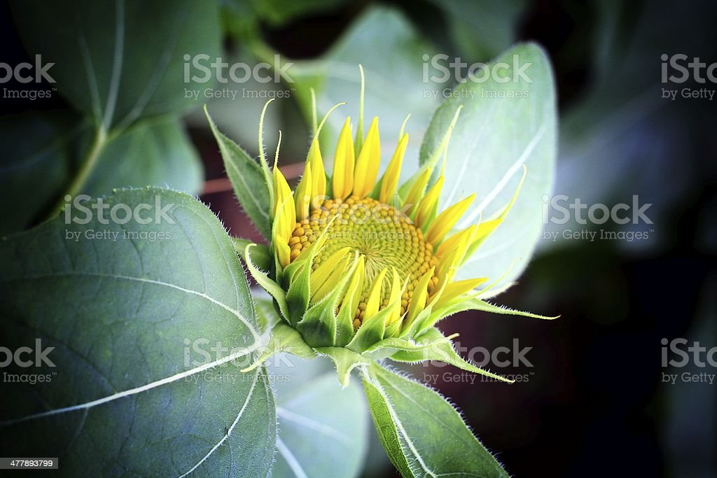 Sun flowers royalty-free stock photo