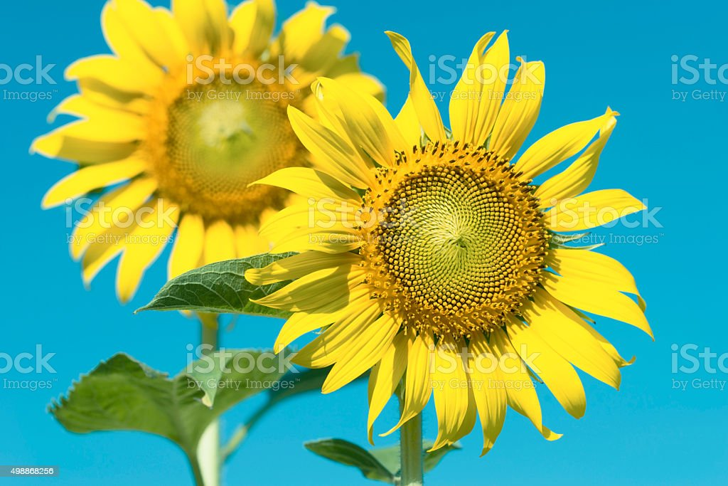 Sun flowers. royalty-free stock photo
