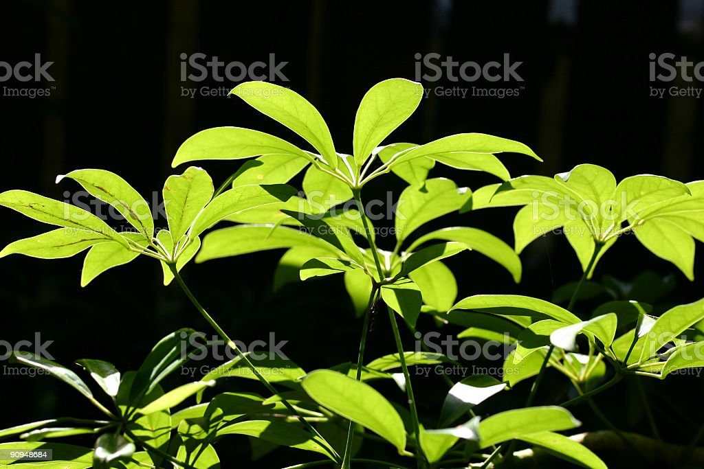 sun illuminated leaves of dwarf umbrella plant stock photo