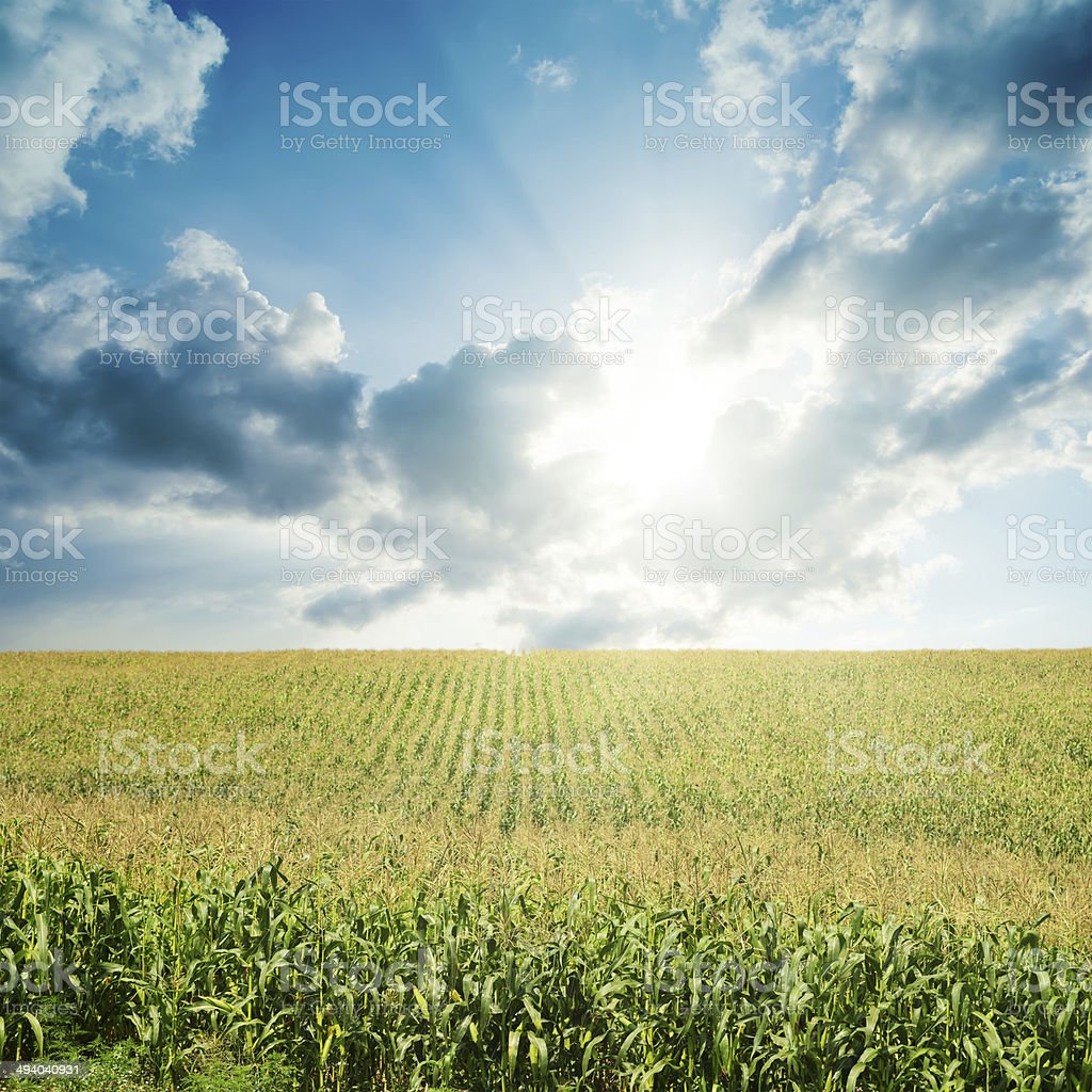 sun in low clouds over field with green maize stock photo