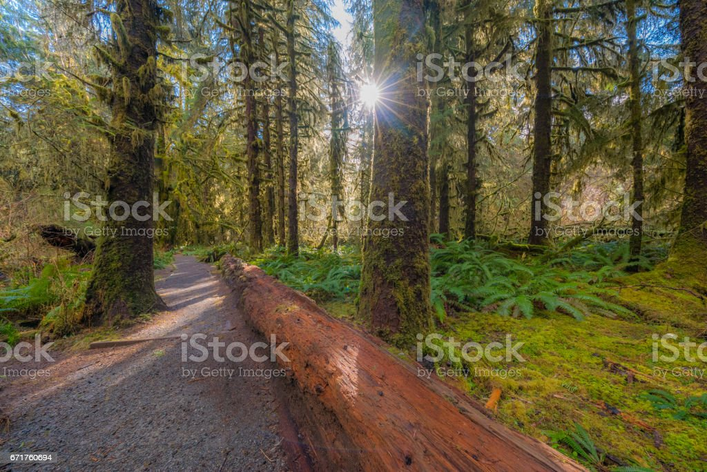 Sun is shining through the trees. The trunk of a fallen tree in a forest. Huge logs overgrown with green moss and fern lie in the forest. stock photo