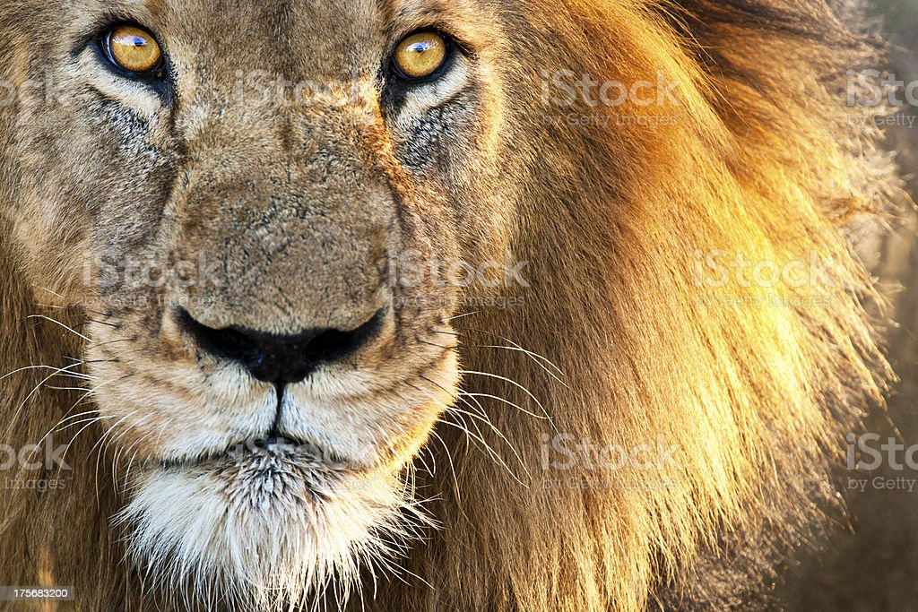 Sun kissed Male Lion stock photo