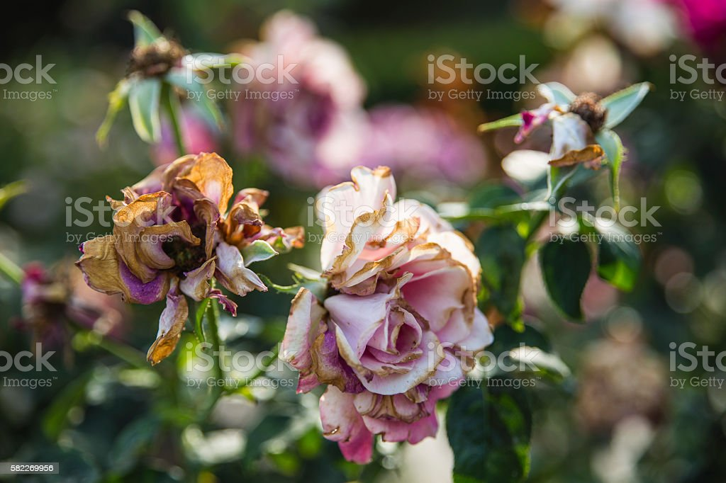 sun light on wilted roses stock photo