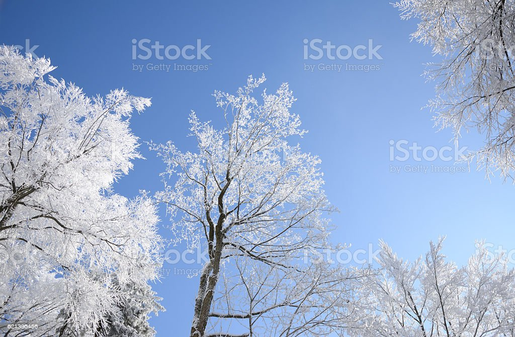 Sun lit trees covered with rime on blue sky background stock photo