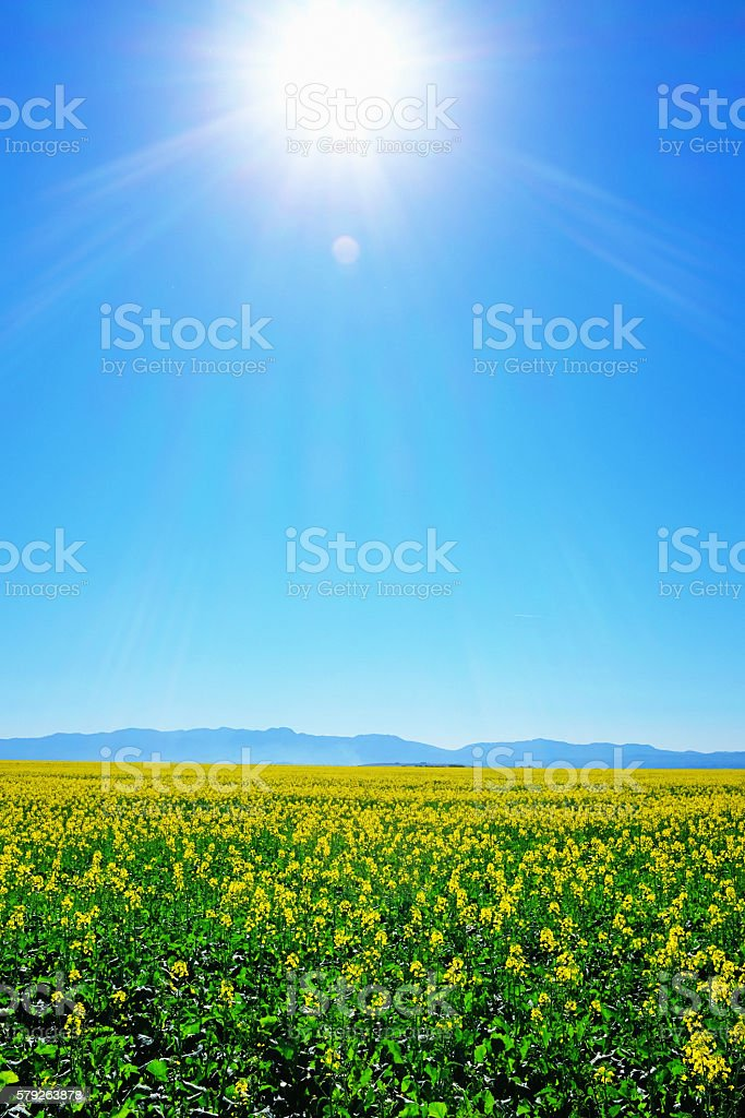 Sun over canola crop field on farm stock photo