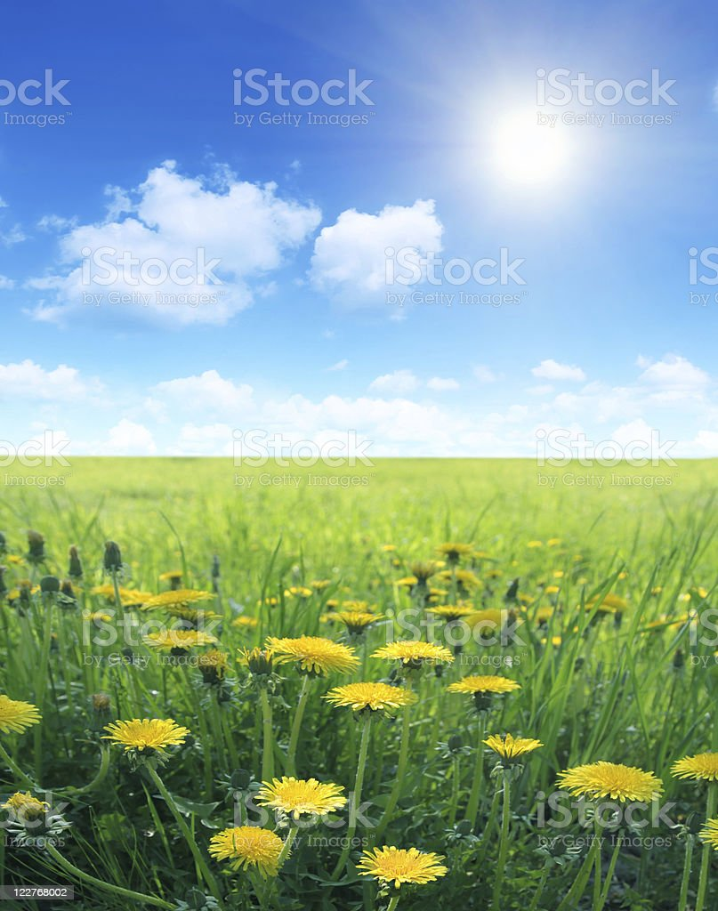 Sun over dandelion field. stock photo
