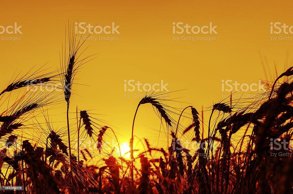 sun over grain field in summer royalty-free stock photo