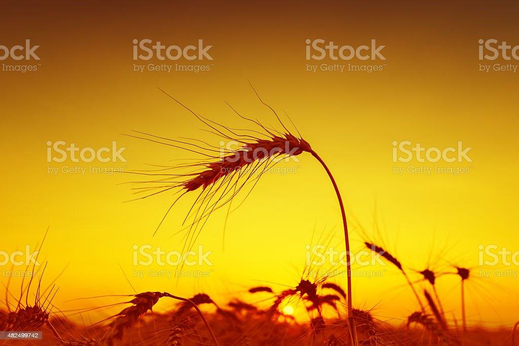 sun over grain field in summer stock photo