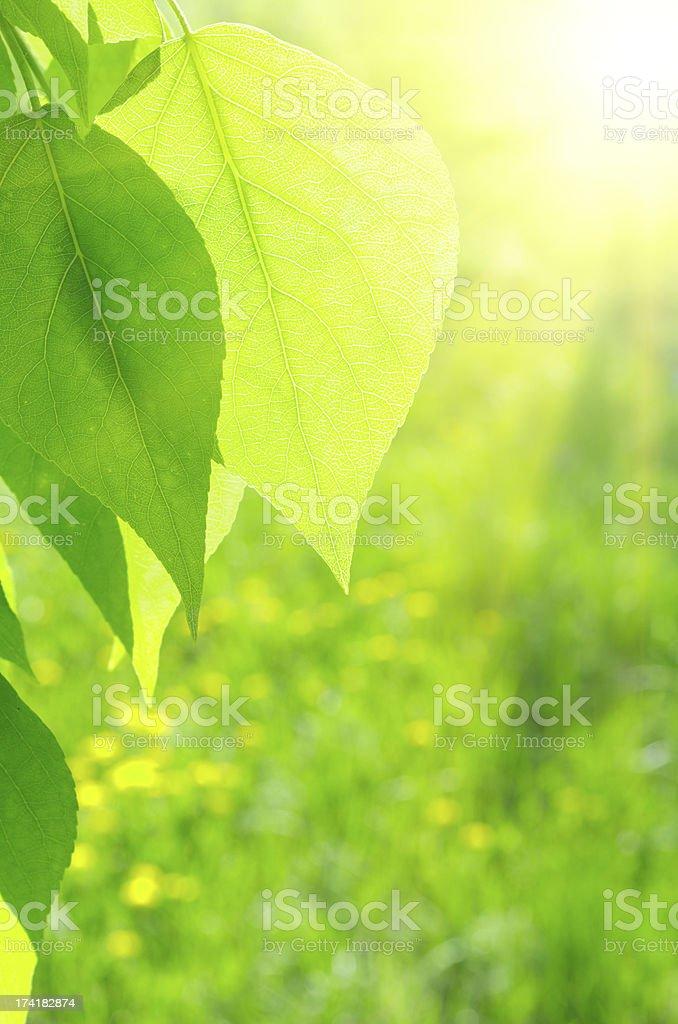 Sun over poplar leaves royalty-free stock photo