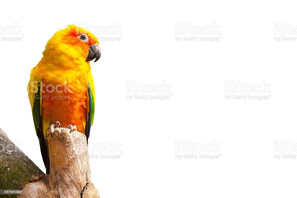 Sun parakeet, Aratinga solstitialis parrot bird on white background with stock photo