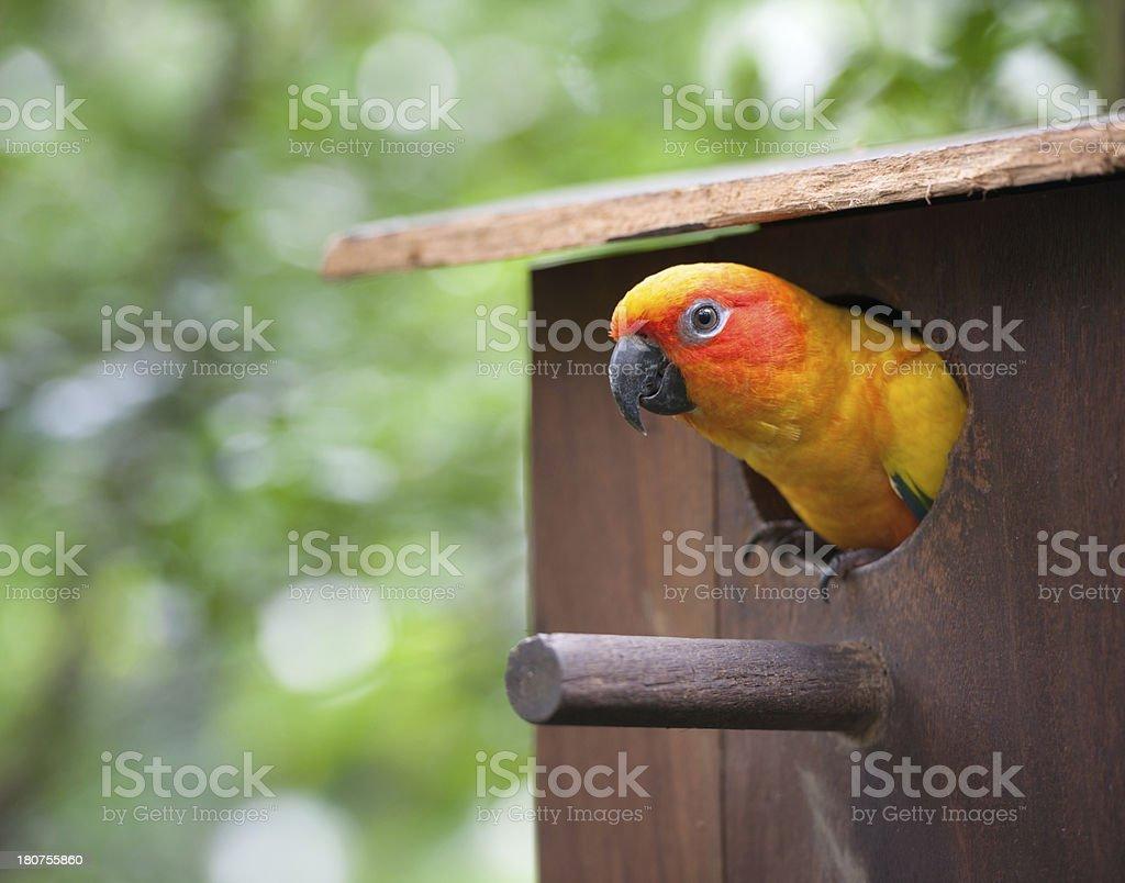 Sun Parakeet (Aratinga solstitialis) stock photo