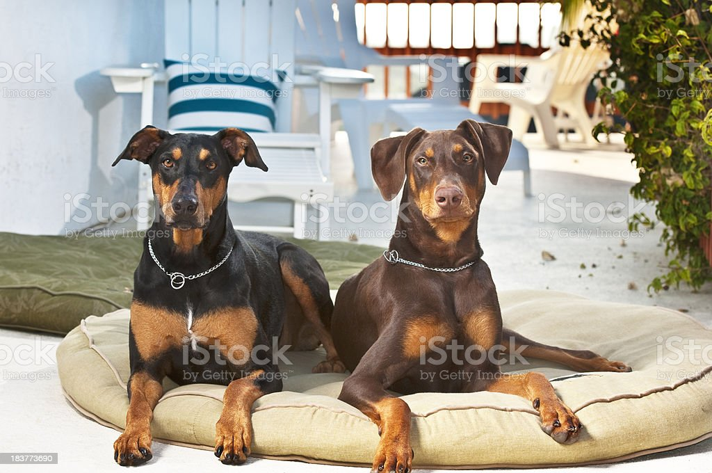 Sun Porch Dogs stock photo