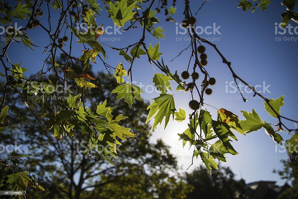 Sun ray through maple leaves stock photo