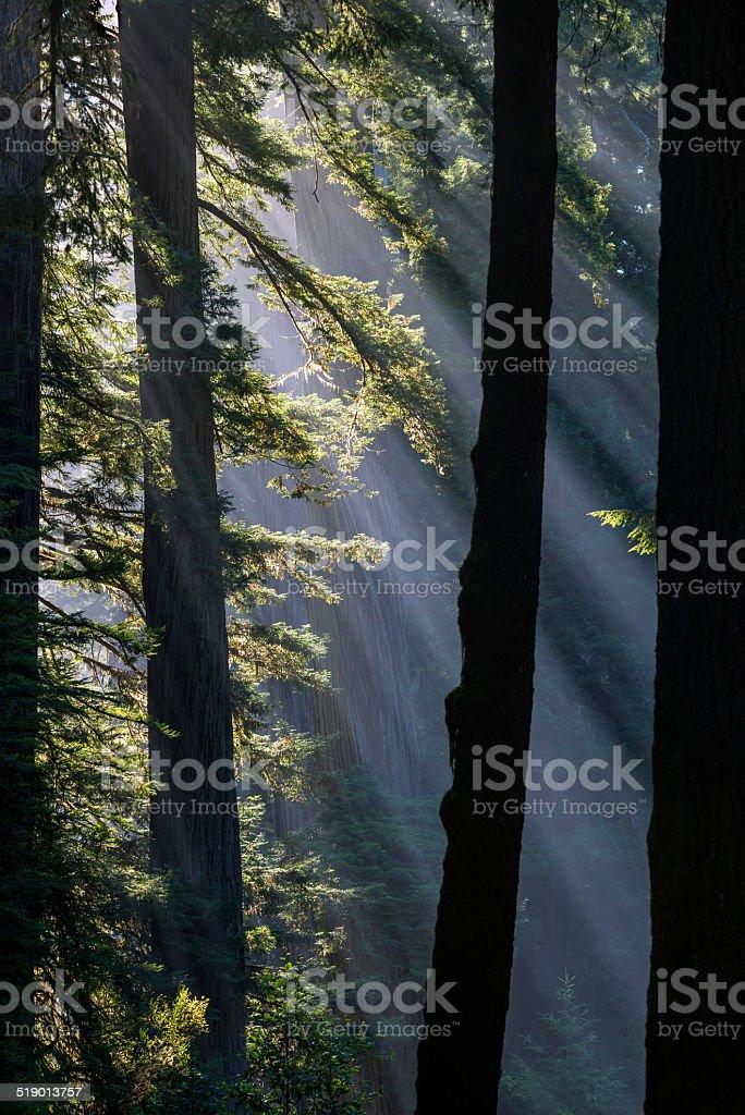 Sun rays at Redwood National Park California stock photo