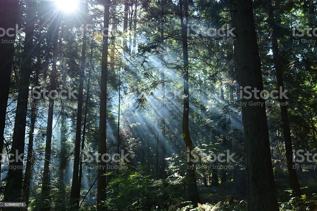 Sun rays in the evergreen foreest stock photo