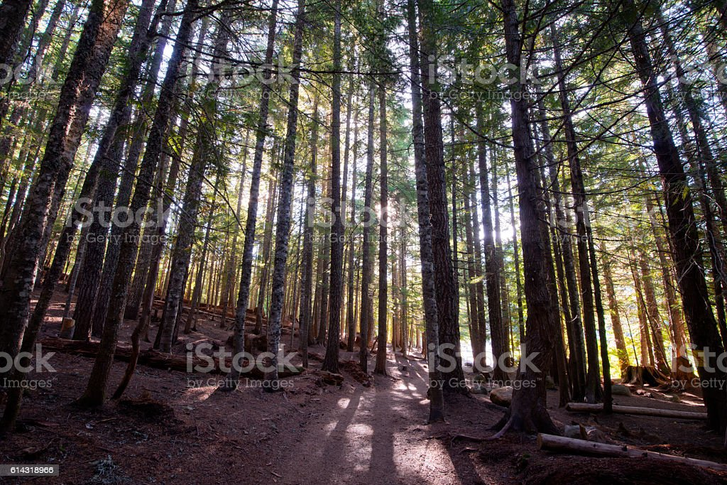 sun rays make their way with difficulty through forest trees stock photo