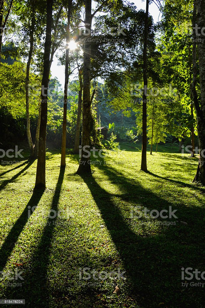 Sun rays shining through trees in the forest,nature background royalty-free stock photo