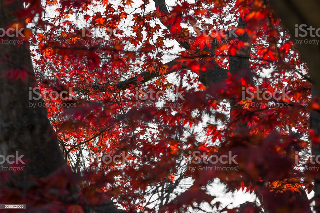 Sun Rays Touch Maple Leaves stock photo