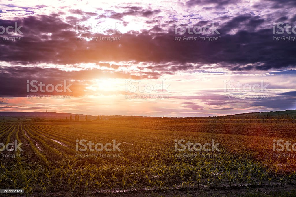 sun rise over the corn field stock photo