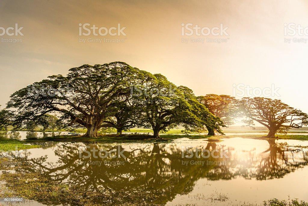 Sun rise,Rain Trees reflected in pond, Sri Lanka stock photo