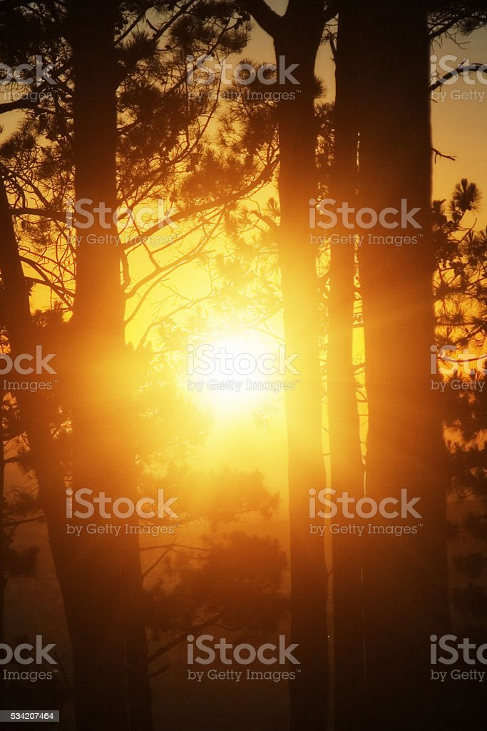 Sun rising behind pine trees on Table Mountain, Cape Town stock photo