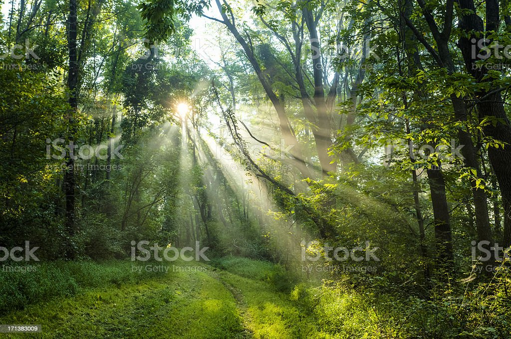 Sun Rising Through a Fog Drenched Forest stock photo