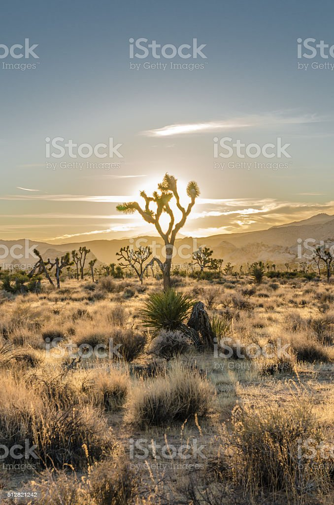 Sun Sets Behind Joshua Tree and Desert Scene stock photo