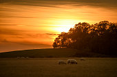 Sun sets behind trees in distance, sheep in the foreground