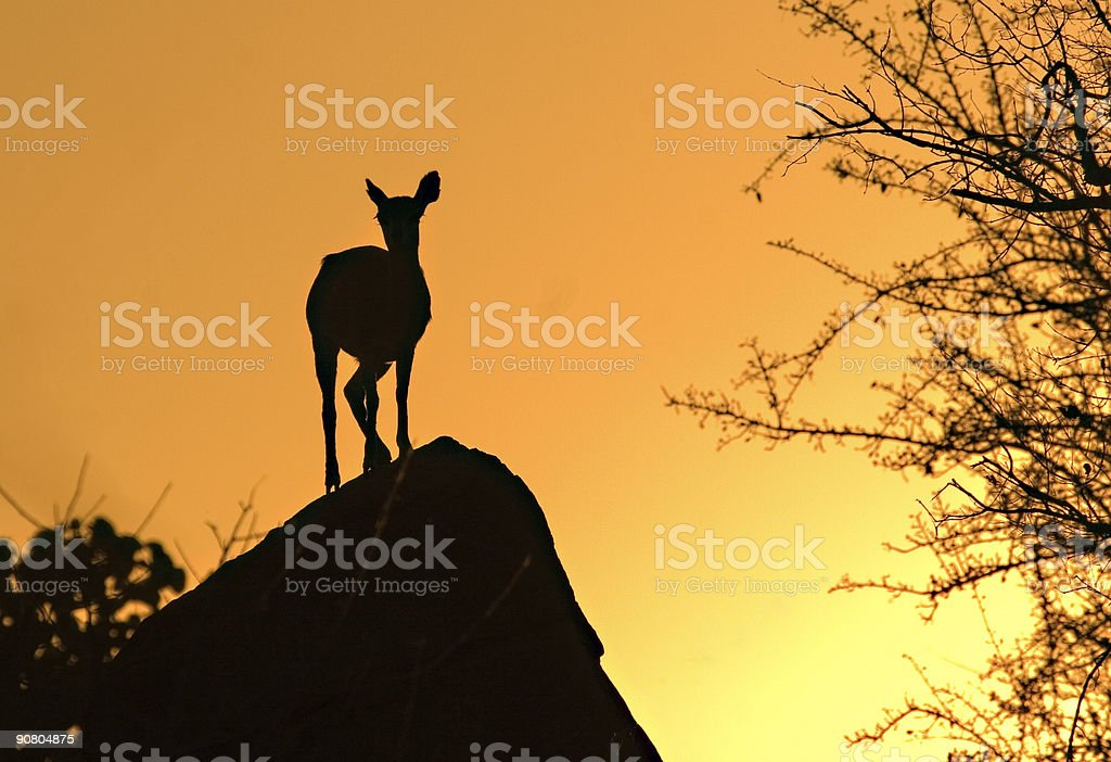 Sun setting in the Kruger Park royalty-free stock photo