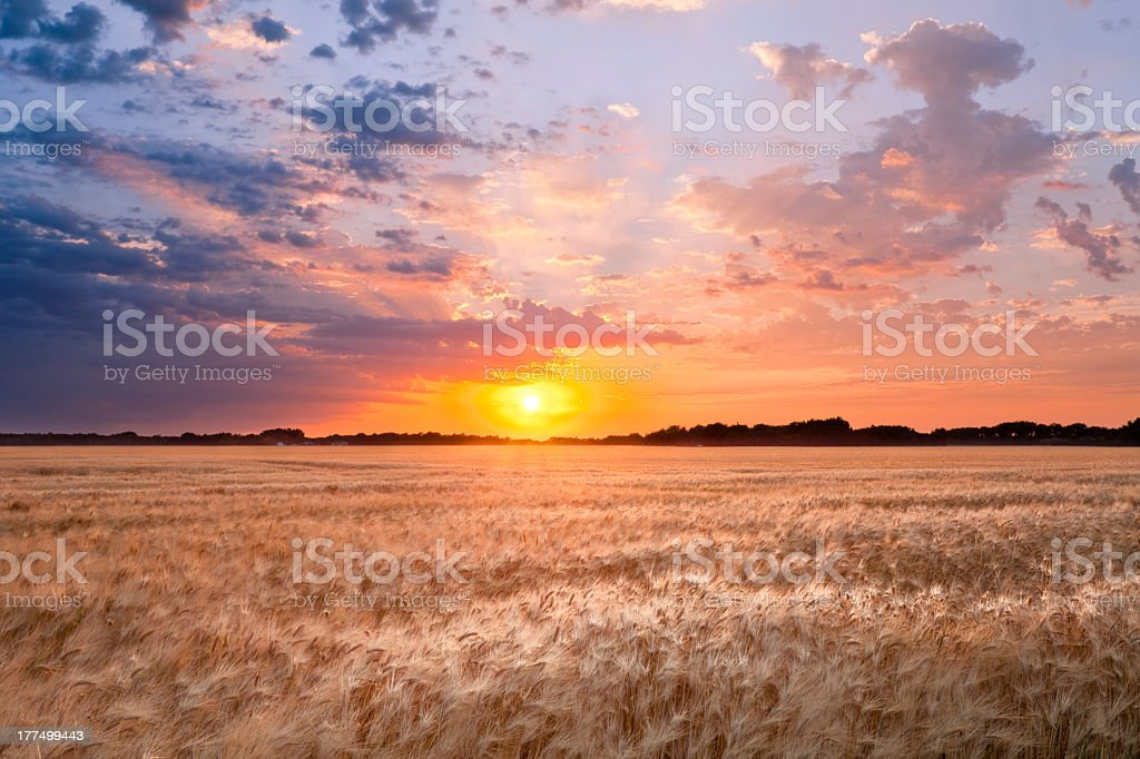 Sun setting over wheat field with colorful sky stock photo