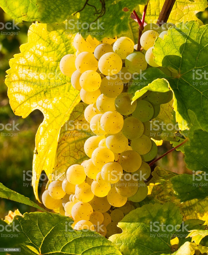 Sun shining on vine of yellow grapes in Rheingau Riesling stock photo