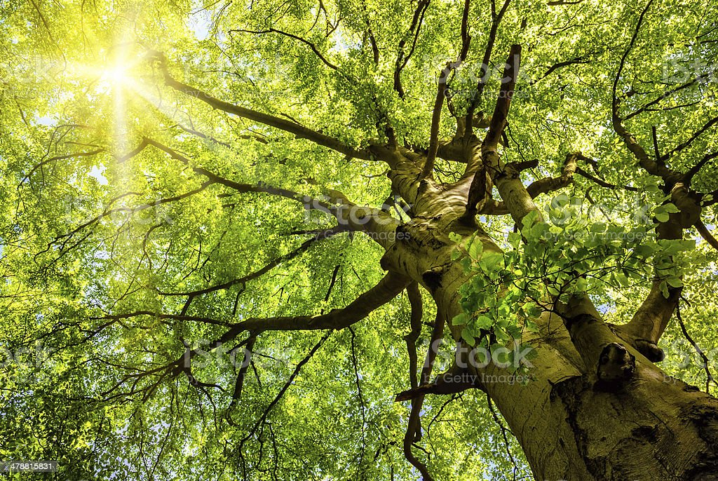Sun shining through an old beech tree stock photo