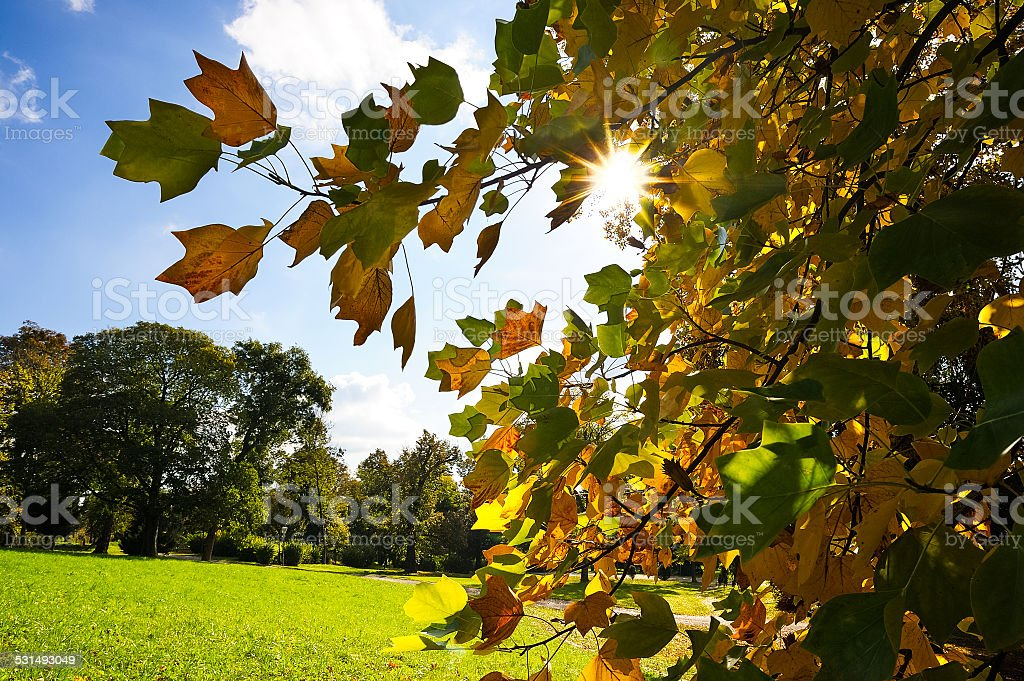 Sun shining through autumn leaves of a tree stock photo