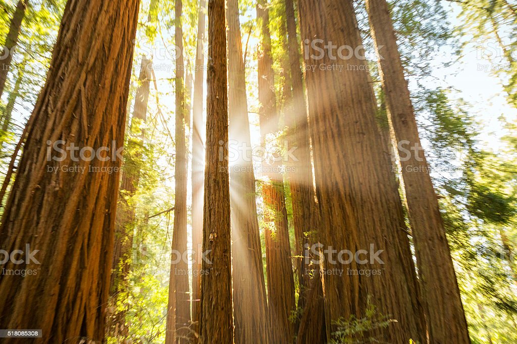 Sun Shining Through Giant Redwoods stock photo