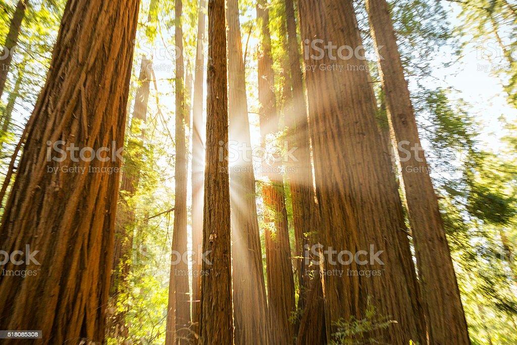 Sun Shining Through Giant Redwoods stock photo