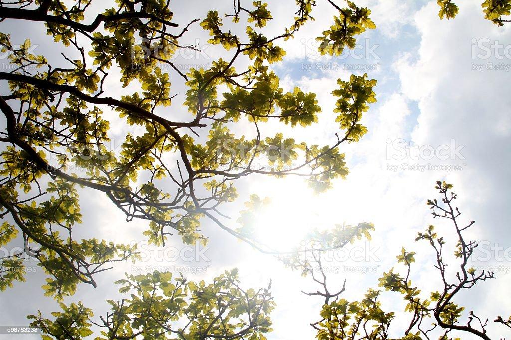 Sun shining through oak tree stock photo