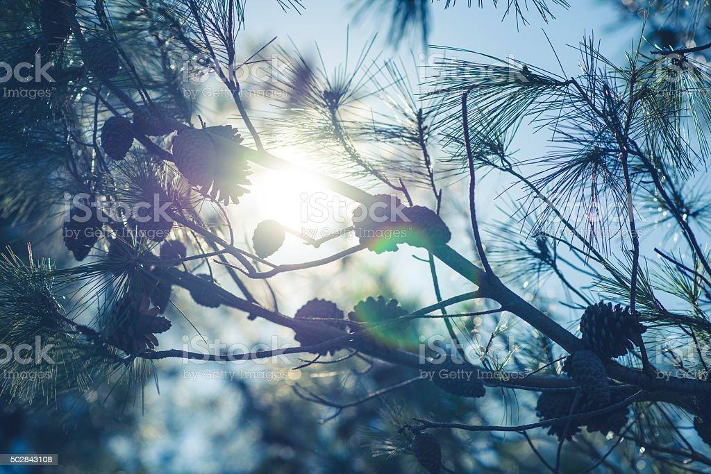 Sun shining through pine tree branches stock photo