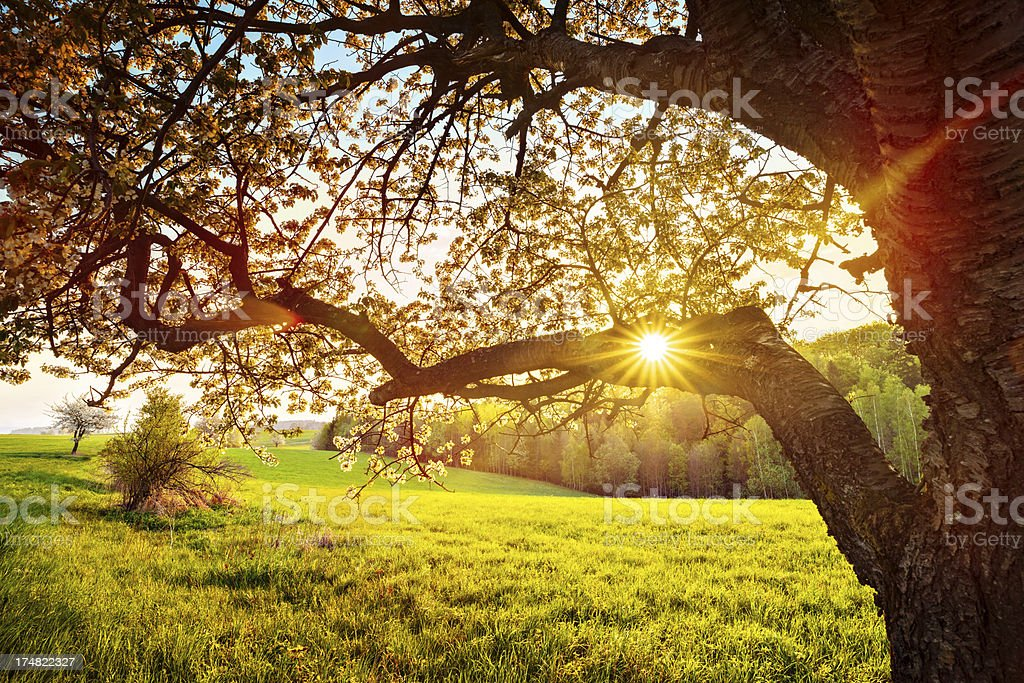 Sun Shining through the Blooming Tree - XXL Image royalty-free stock photo