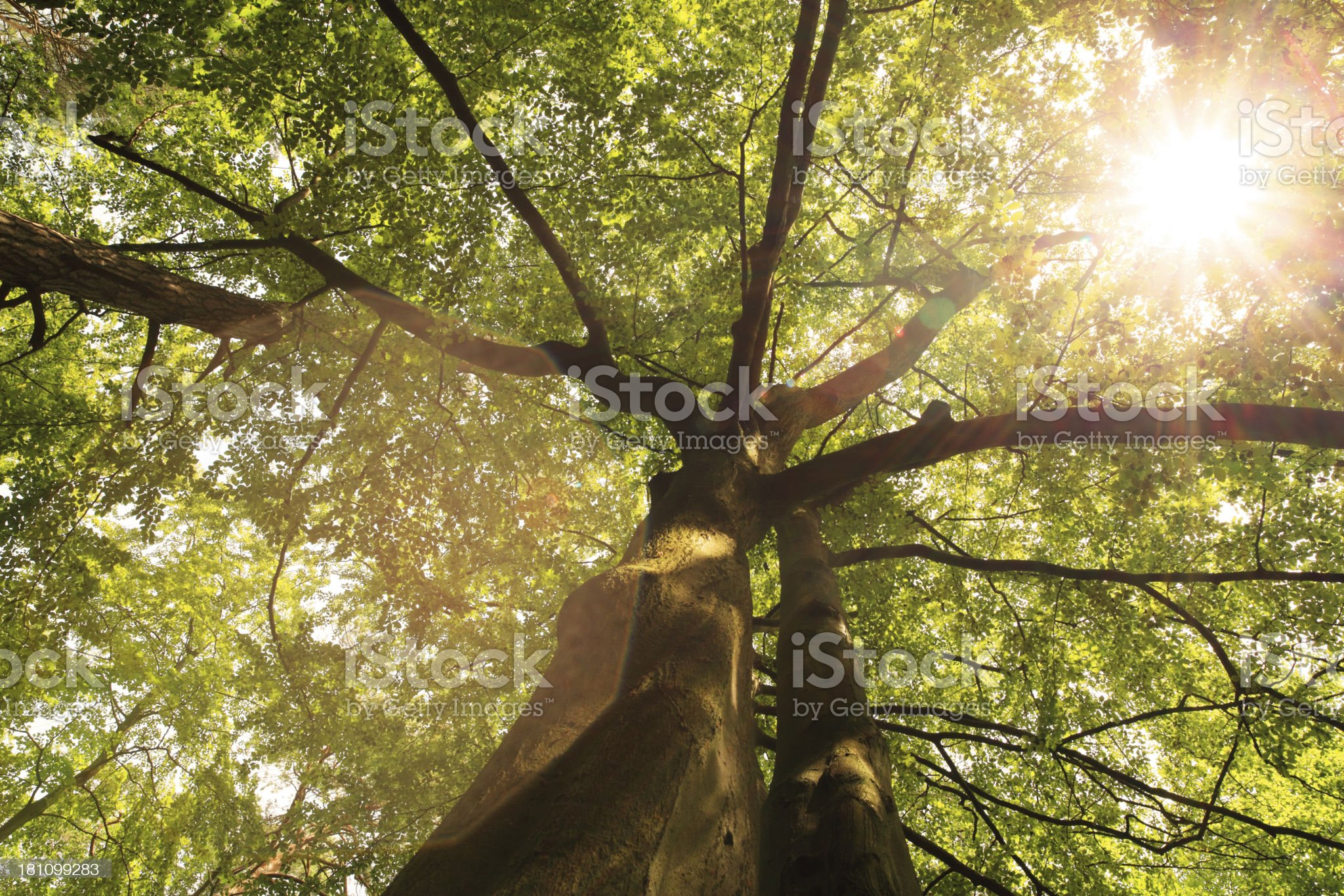 Sun Shining Through The Crown of Tree - Lens Flare royalty-free stock photo