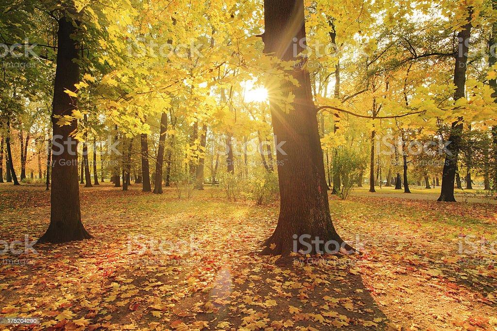 Sun Shining through the Maple Tree - Colorfull Autumn Park royalty-free stock photo