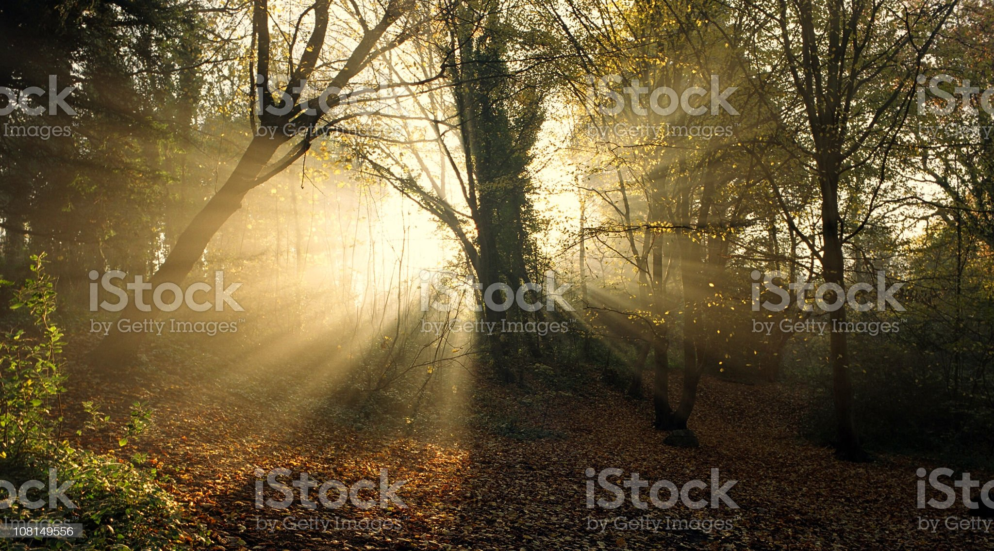 Sun Shining Through Tree in Forest royalty-free stock photo