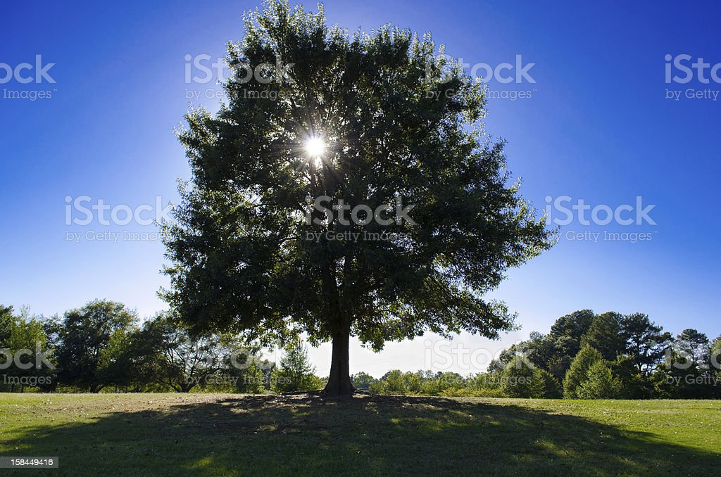Sun shinning through a tree royalty-free stock photo