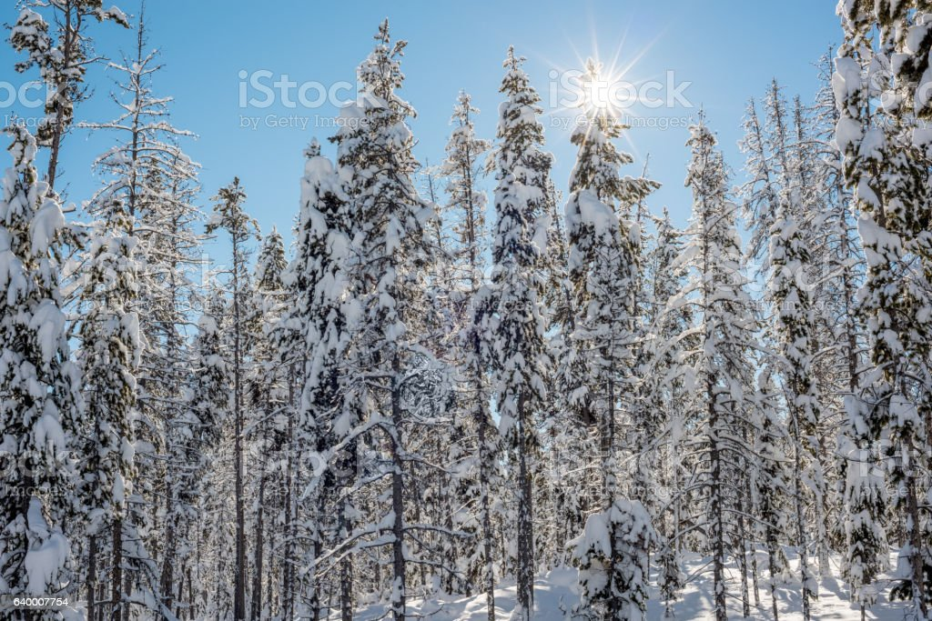 Sun star peeks through a snow covered forest stock photo