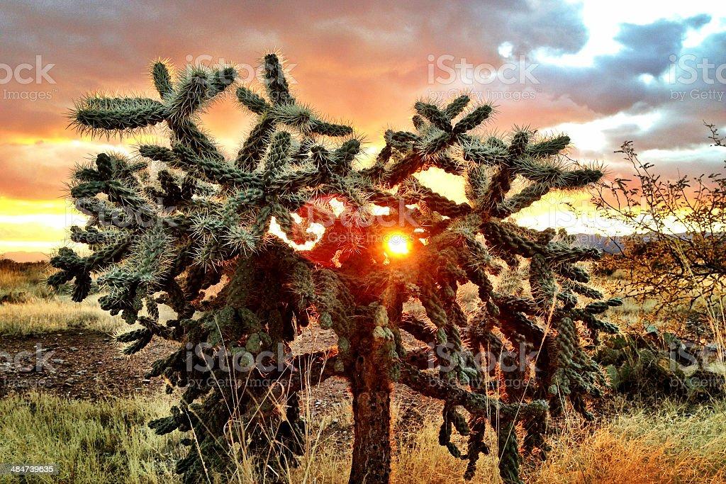 Sun through Cholla stock photo