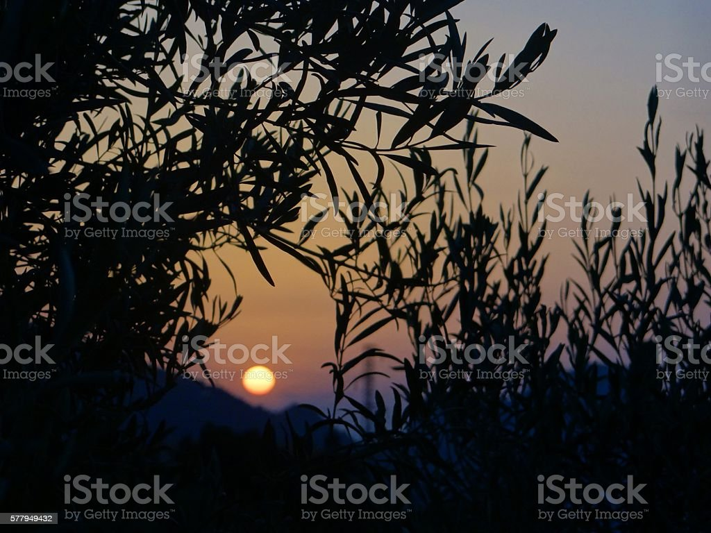 Sun through Olive Trees with Sunset stock photo